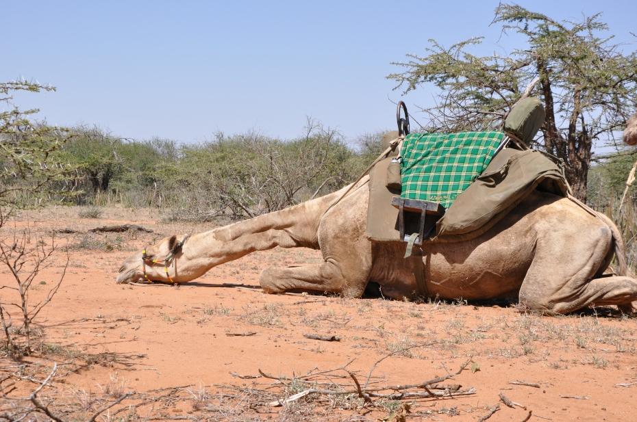 Camel snoozing
